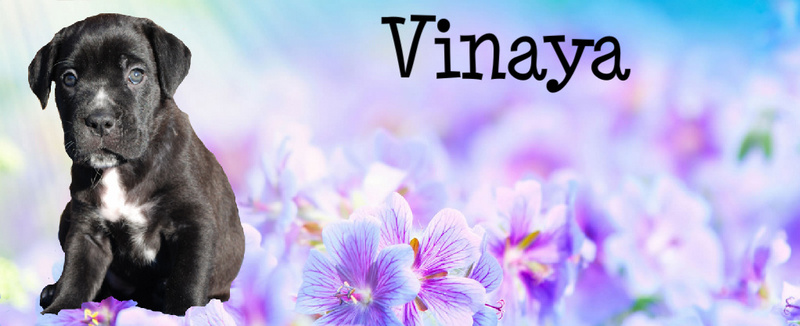Vinaya zwart